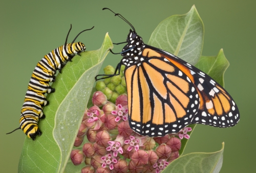 Monarch with caterpillar
