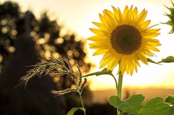 sunflower-1127174_640
