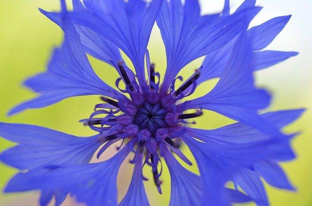cornflower-49221_640
